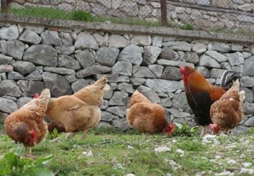 БАБХ е констатирала инфлуенца по птиците в два животновъдни обекта