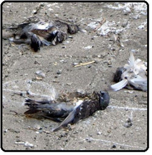 Проби от умрели диви гълъби, намерени наскоро край село Странджа,