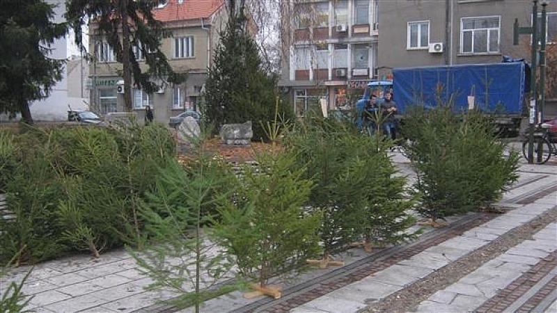 Вървят масови проверки на коледните елхи дни преди Коледа. Оказва
