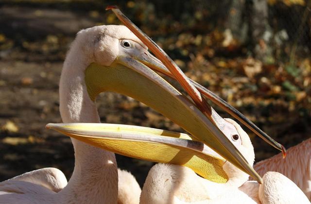 Първите пеликани вече пристигнаха в биосферен парк Сребърна повече от