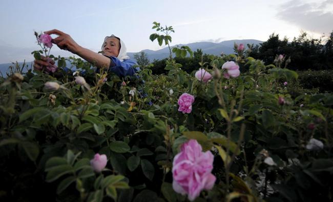 В Карлово беше учредена национална асоциация на розопроизводителите. Основната ѝ