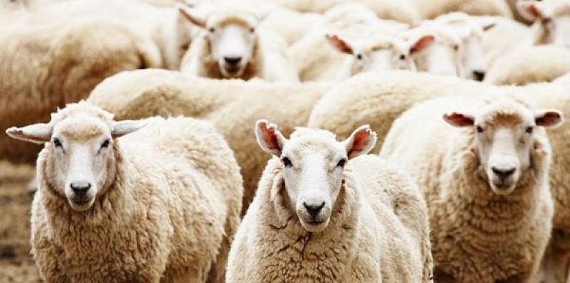 Опозиционери с овчи сърца