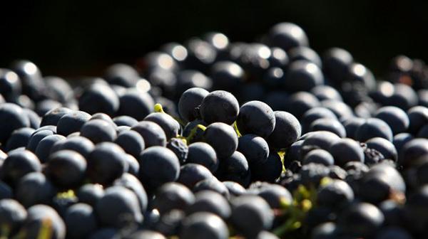 Снимка: Тонове грозде застоява в Силистренско