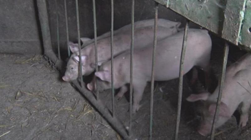 Продължава умъртвяването на животните от свинекомплекса в русенското село Николово,
