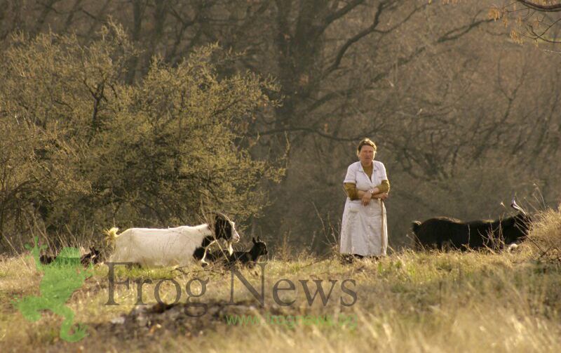 Фермерите, които отглеждат овце и кози в засегнатите от чумата