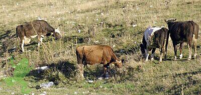 kravi.jpg
