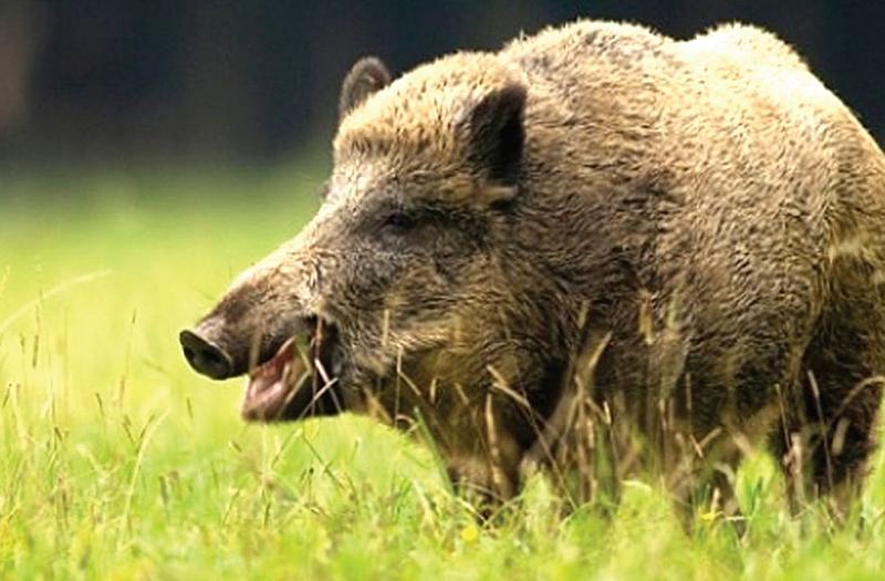 576 са огнищата на африканска чума по свинете в Румъния.