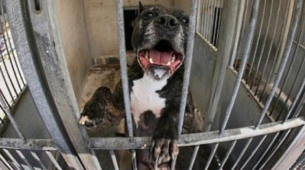 Нападенията на кучета продължават: питбул потроши пенсионерка