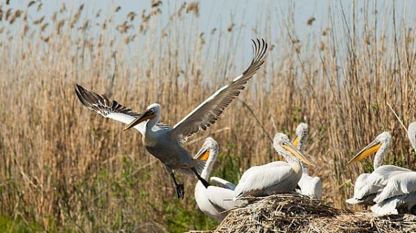 Простреляха розов пеликан край Каспичан
