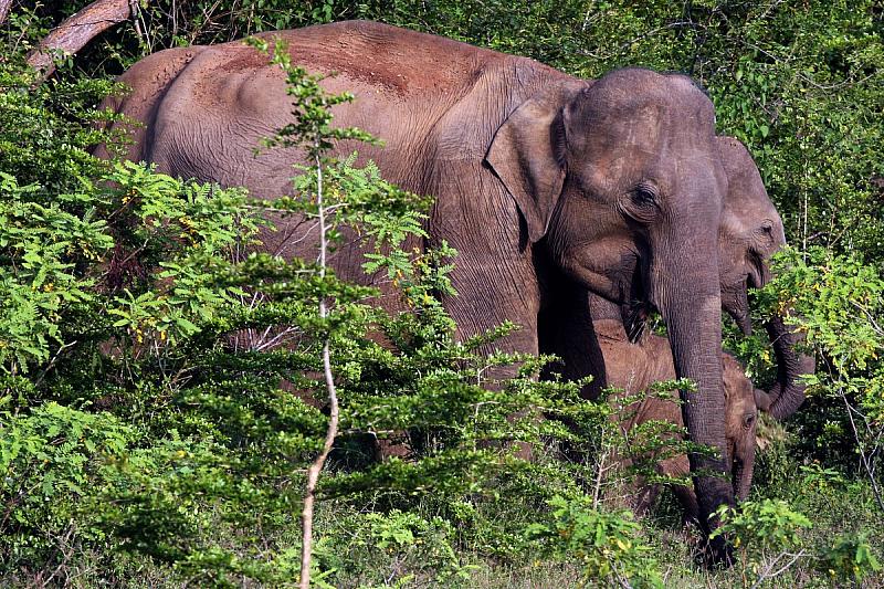 Шест диви слона са загинаха в националния парк Хао Яй