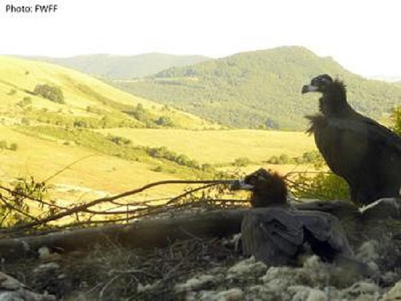 Бракониери убиха черния лешояд Ултрон край Кърджали. Птицата е дарение