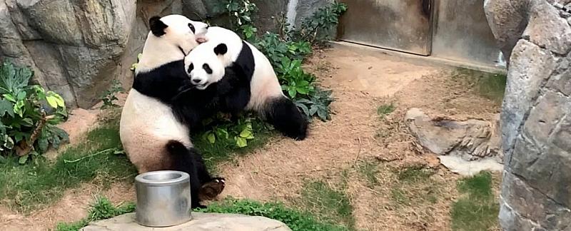 Панди в китайски зоопарк се превърнаха в истинска международна сензация.