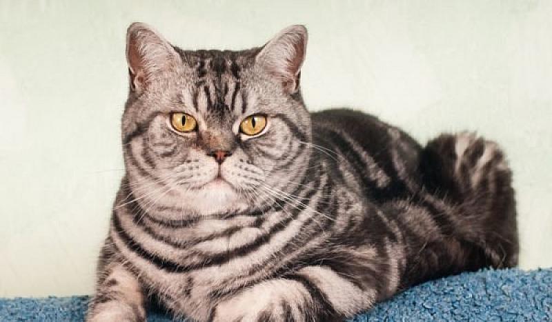 Домашните котки често стават преносители на коронавируси (род, който съдържа